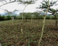 IMG_1968 Kiambogoko Musas farm FMNR'd and planted