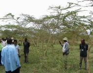 IMG_1973 Kiambogoko 2014 acacias  Musa's farm