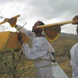 Honig-ernte-einer-Imker-Gruppe-624x428