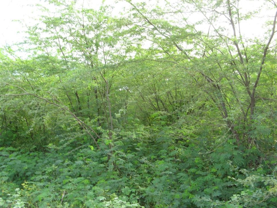 Prosopis beansValuable food&Fodder